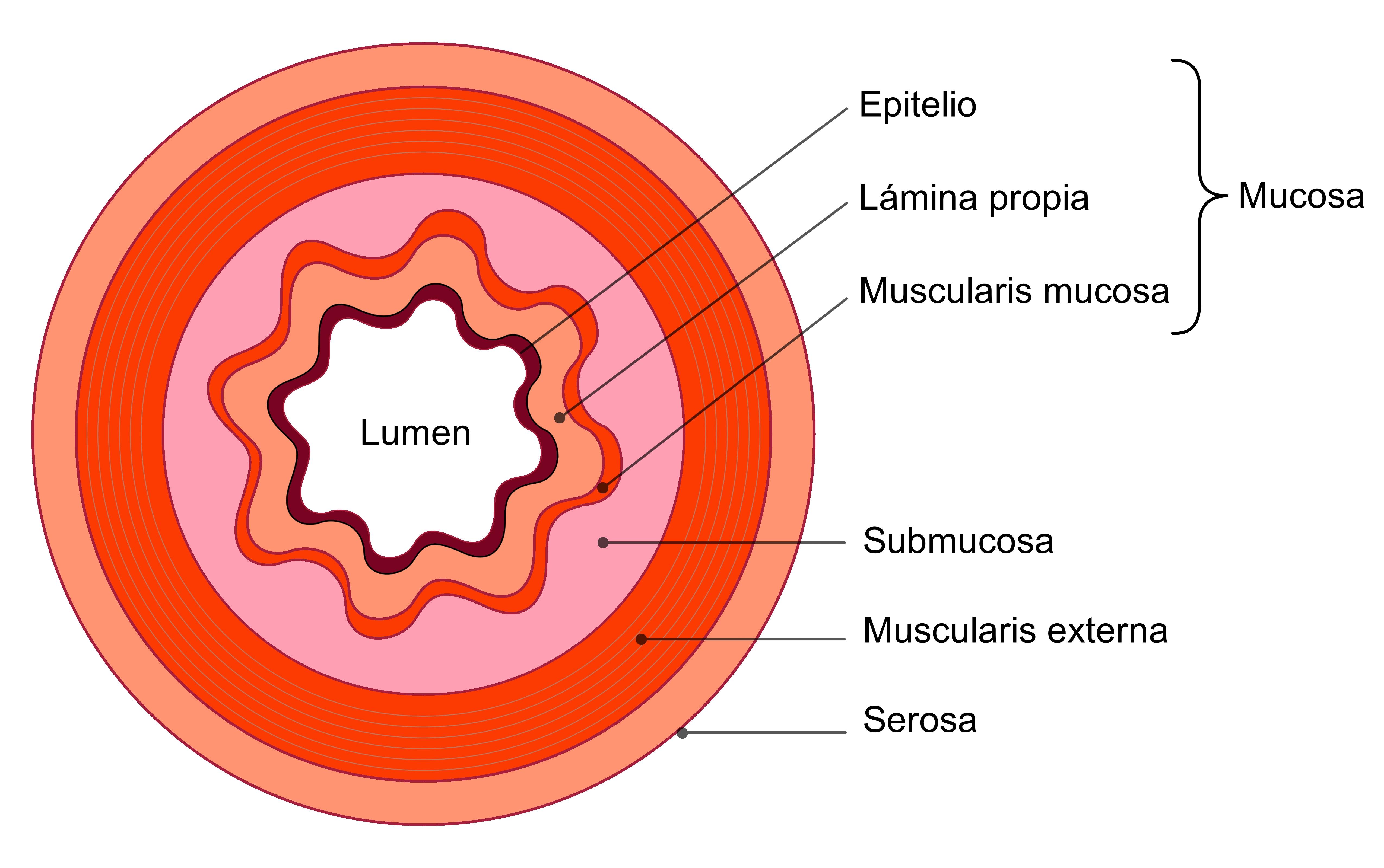 Lámina Propia Wikipedia La Enciclopedia Libre