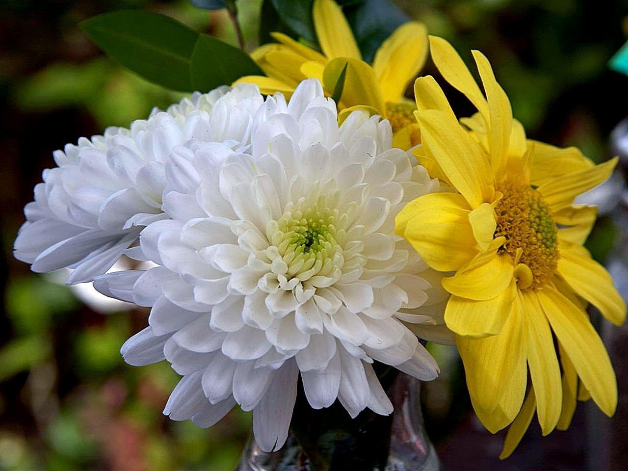 File Chrysanthemum flower Wikimedia mons