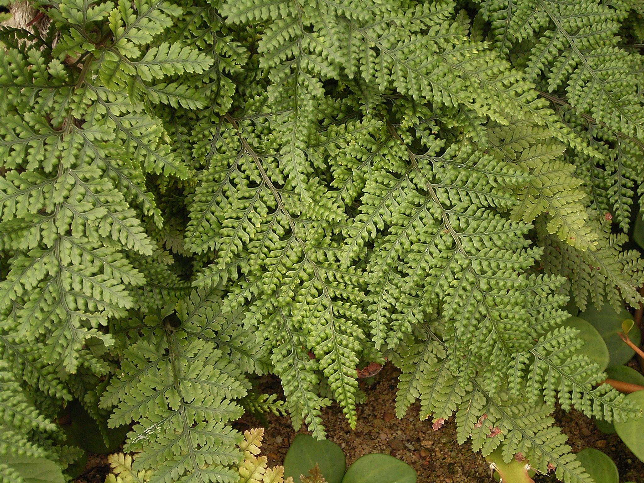 File davallia bullata 2 wikipedia for Plantas verticales de interior