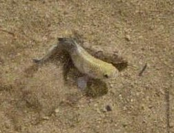 Death Valley Pupfish spawning in Salt Creek.jpg