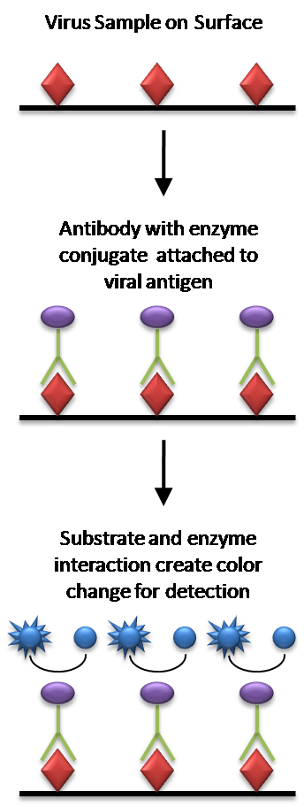 enzyme assays definition Enzyme assays is a descriptor in the national library of medicine's controlled vocabulary thesaurus, mesh (medical subject headings) descriptors are arranged in a hierarchical structure, which enables searching at various levels of specificity.