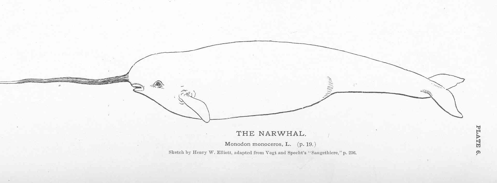 File:FMIB 50841 Narwhal.jpeg - Wikimedia Commons