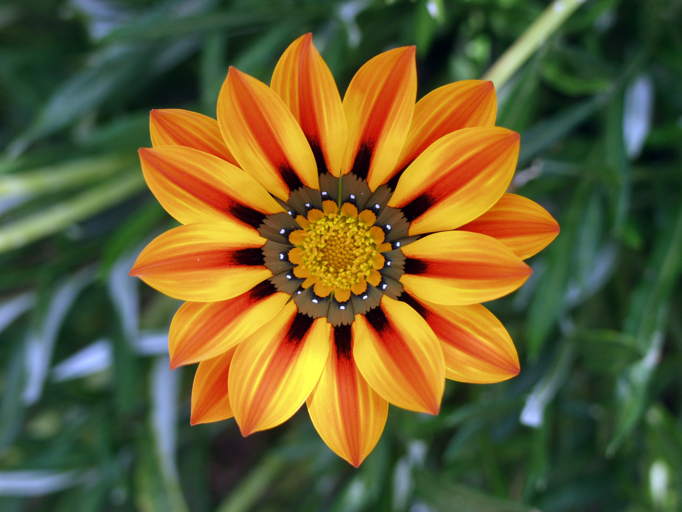 Flower Pictures Gazania