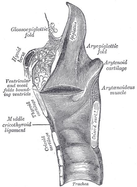 glossoepiglottic folds