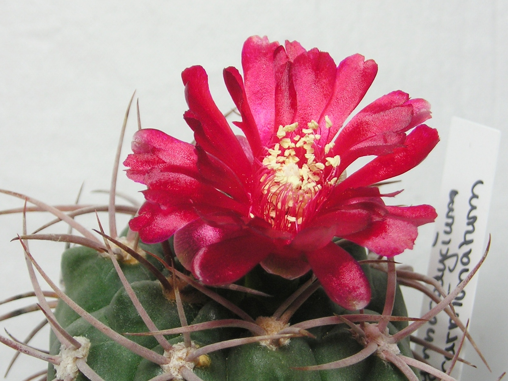 File:Gymnocalycium oenanthemum.jpg - Wikimedia Commons