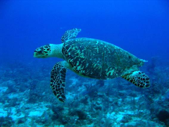 tortue marine du Panama