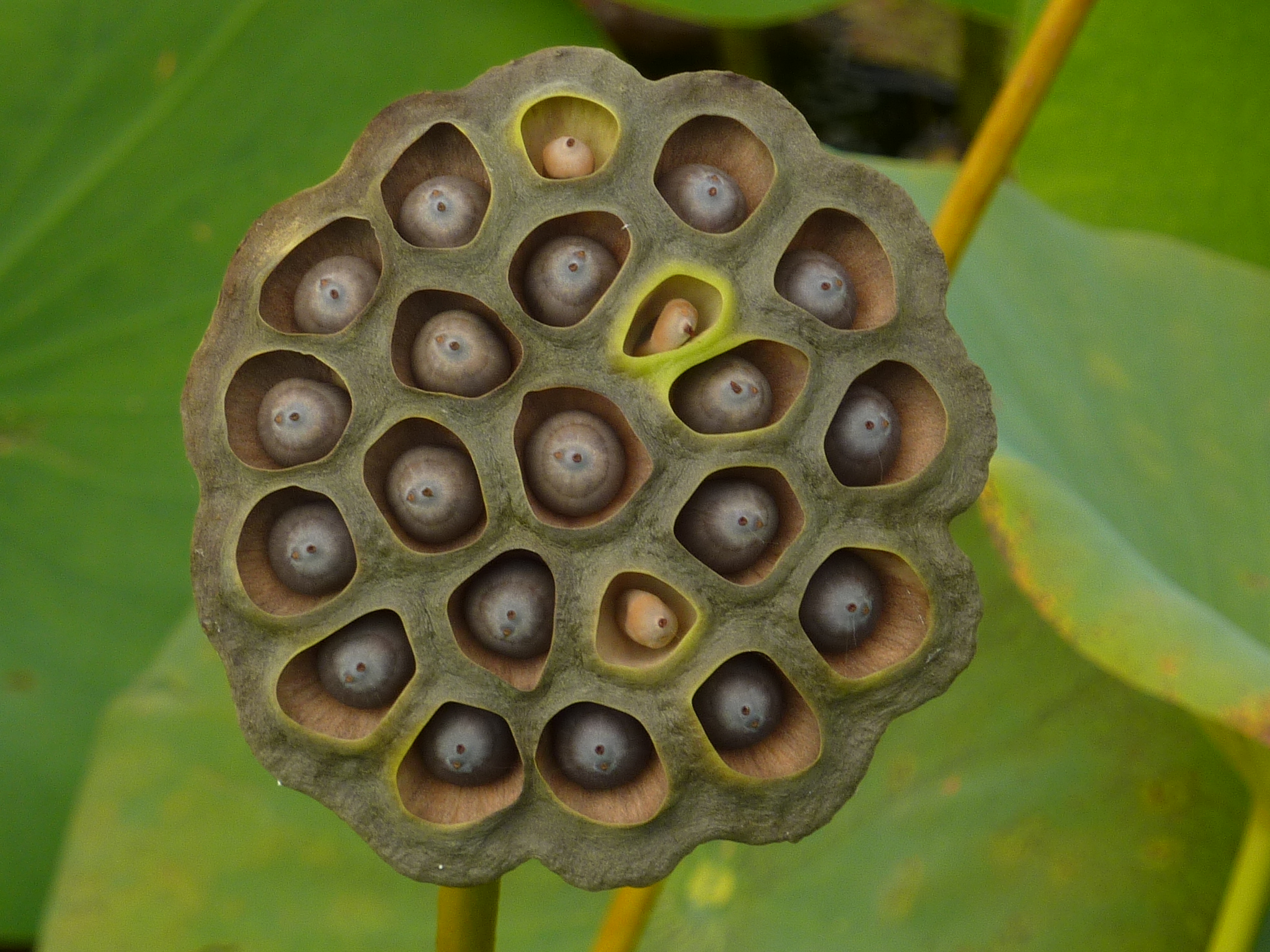 Fileiub Arboretum Lotus Pond Dry Seed Pod P1100172g