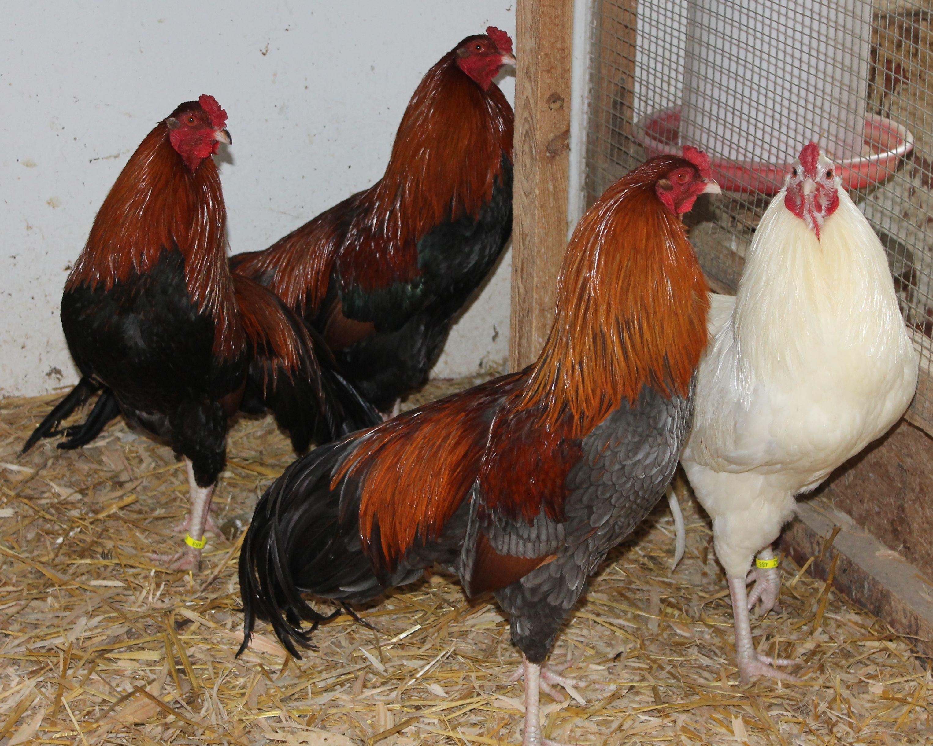 Chicken head blau