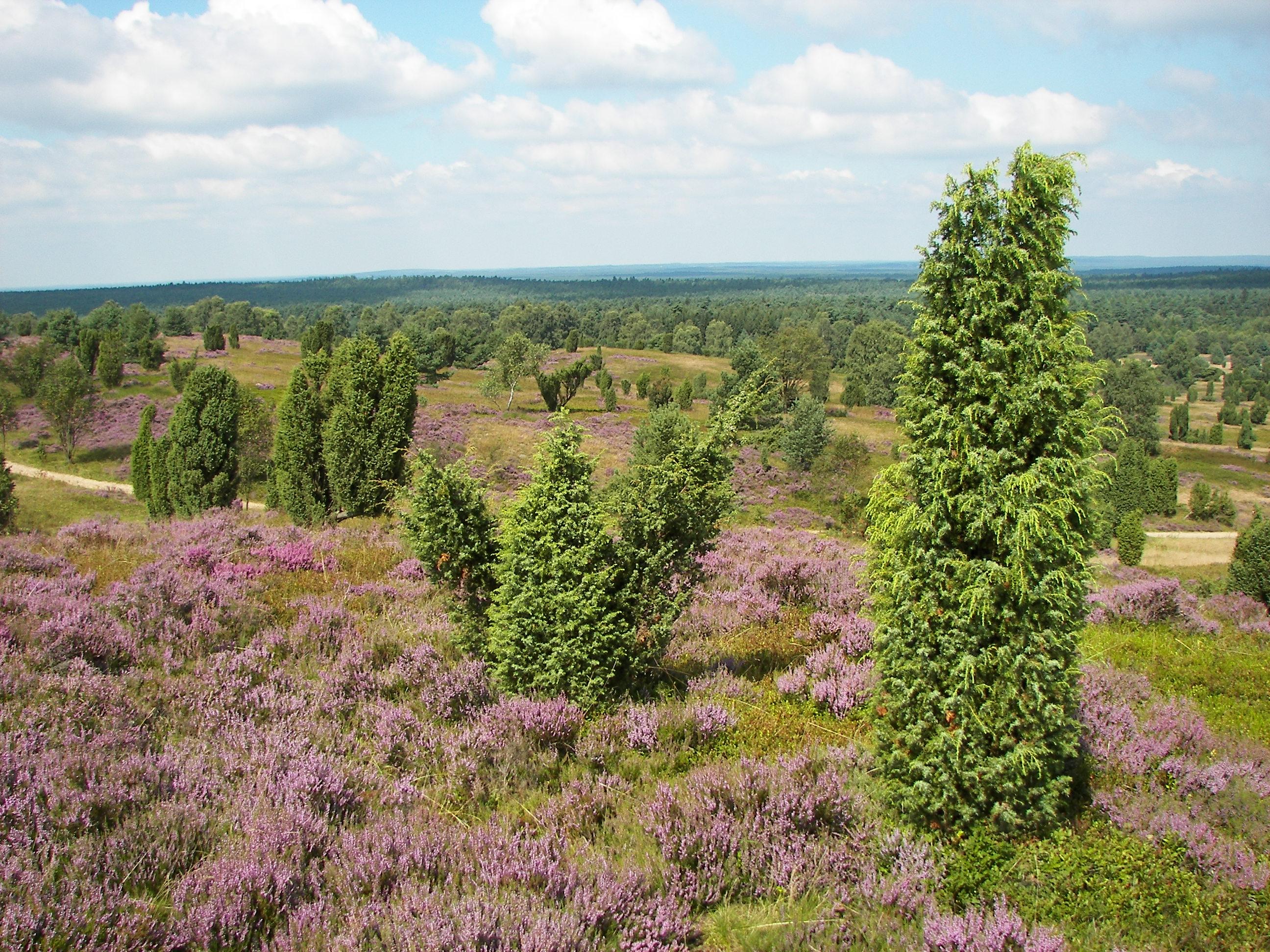 Die Lüneburger Heide in Niedersachsen
