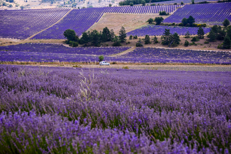 File:Lavender in Provence.jpg - Wikimedia Commons