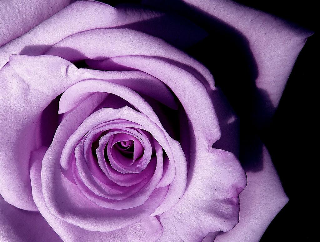 File Lavender Rose Jpg Wikimedia Commons