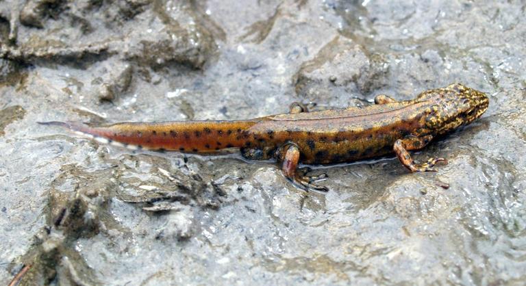 Mlok karpatský žije vo vyšších polohách hlavne v ihličnatých a bukových oblastiach.