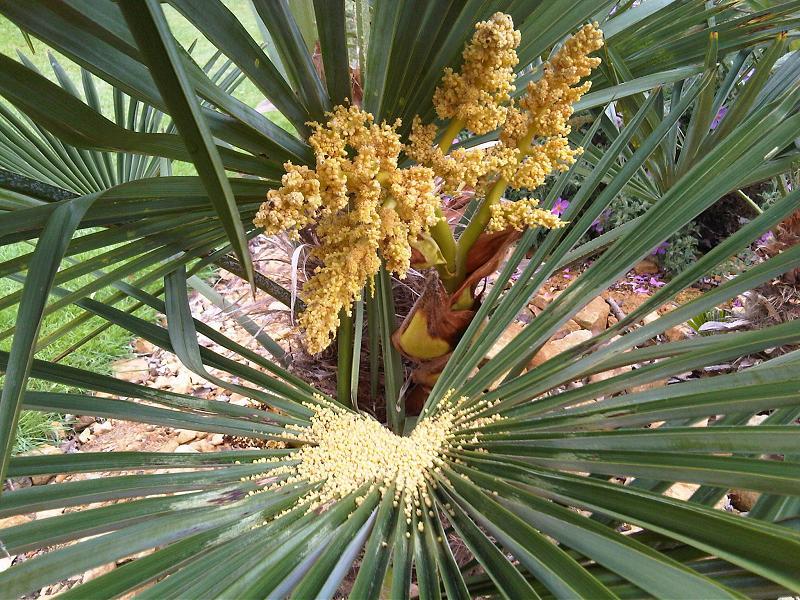 Chinese fan palm versatility plus livistona chinensis kew 2 mightylinksfo