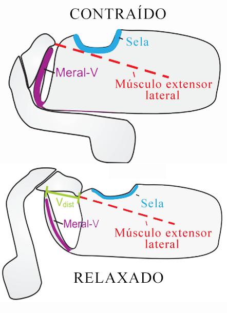 file:mantis shrimp muscle png