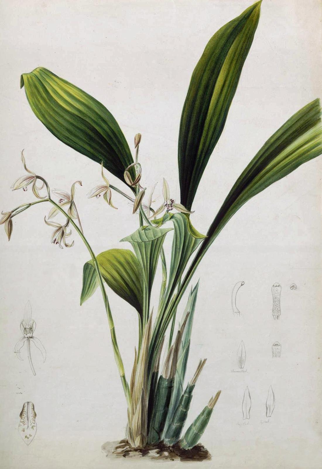 Naturalis Biodiversity Center - L.2096012 - Wendel, Abraham Jacobus - Cymbidium lancifolium - Artwork - cropped.jpg