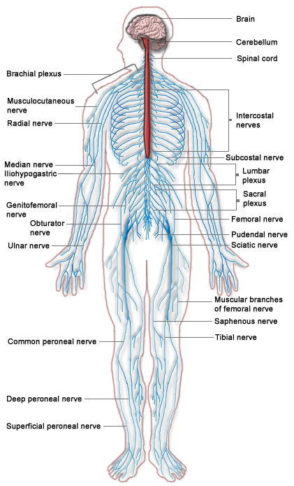 Human Physiology/The Nervous System