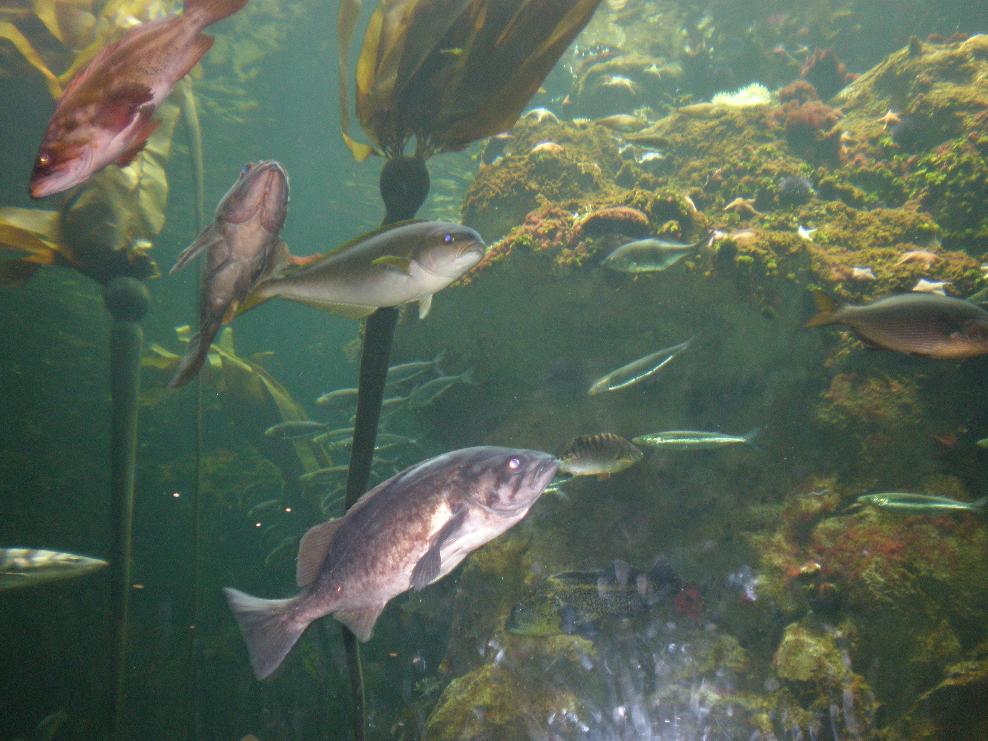 File:Northern California Coast aquarium CAS 1.JPG - Wikimedia Commons