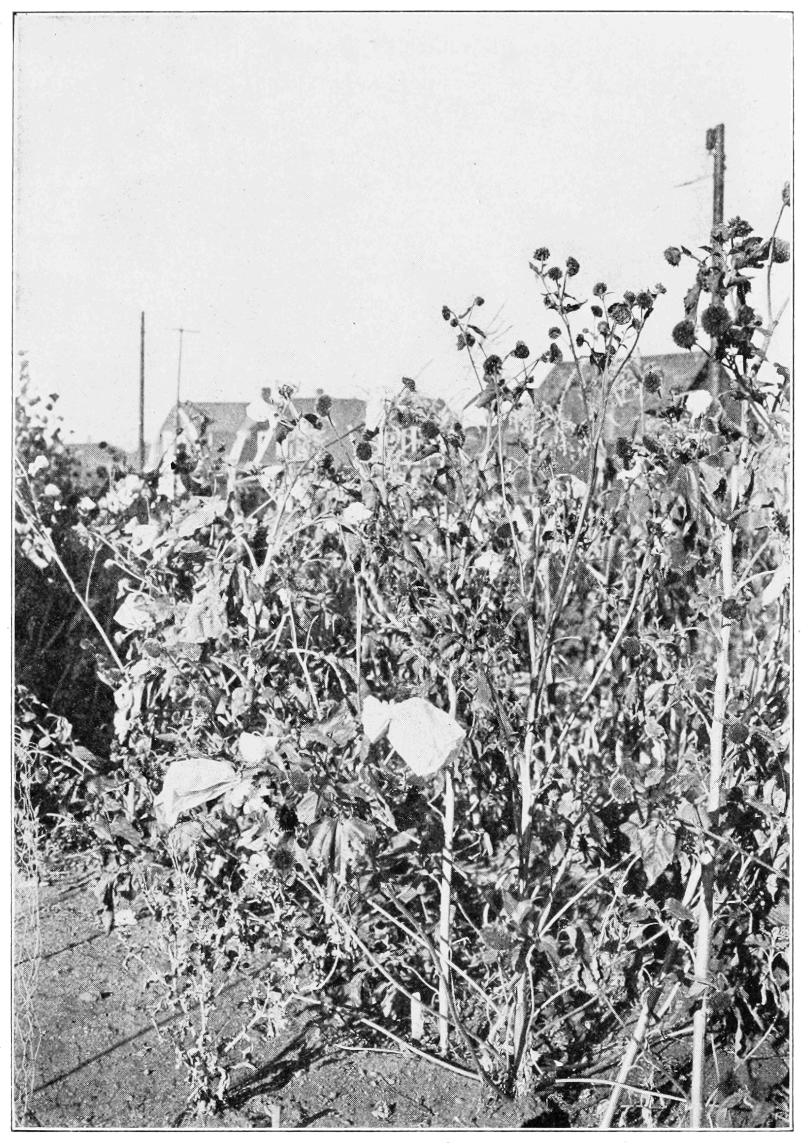 PSM V80 D381 Sunflower garden showing heads with bags.png