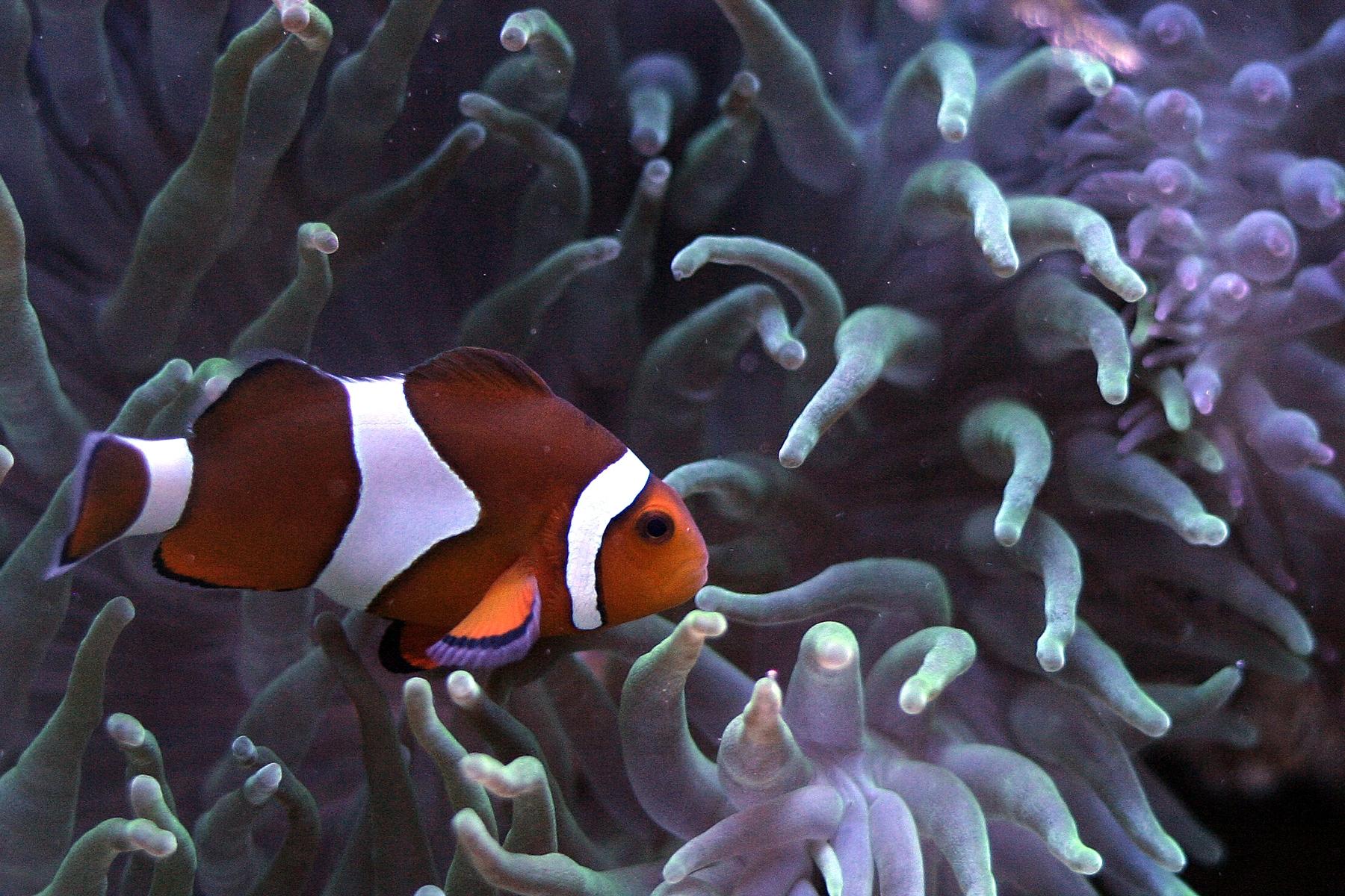 Pez payaso varios hd imagenes taringa for Construccion de tanques para peces