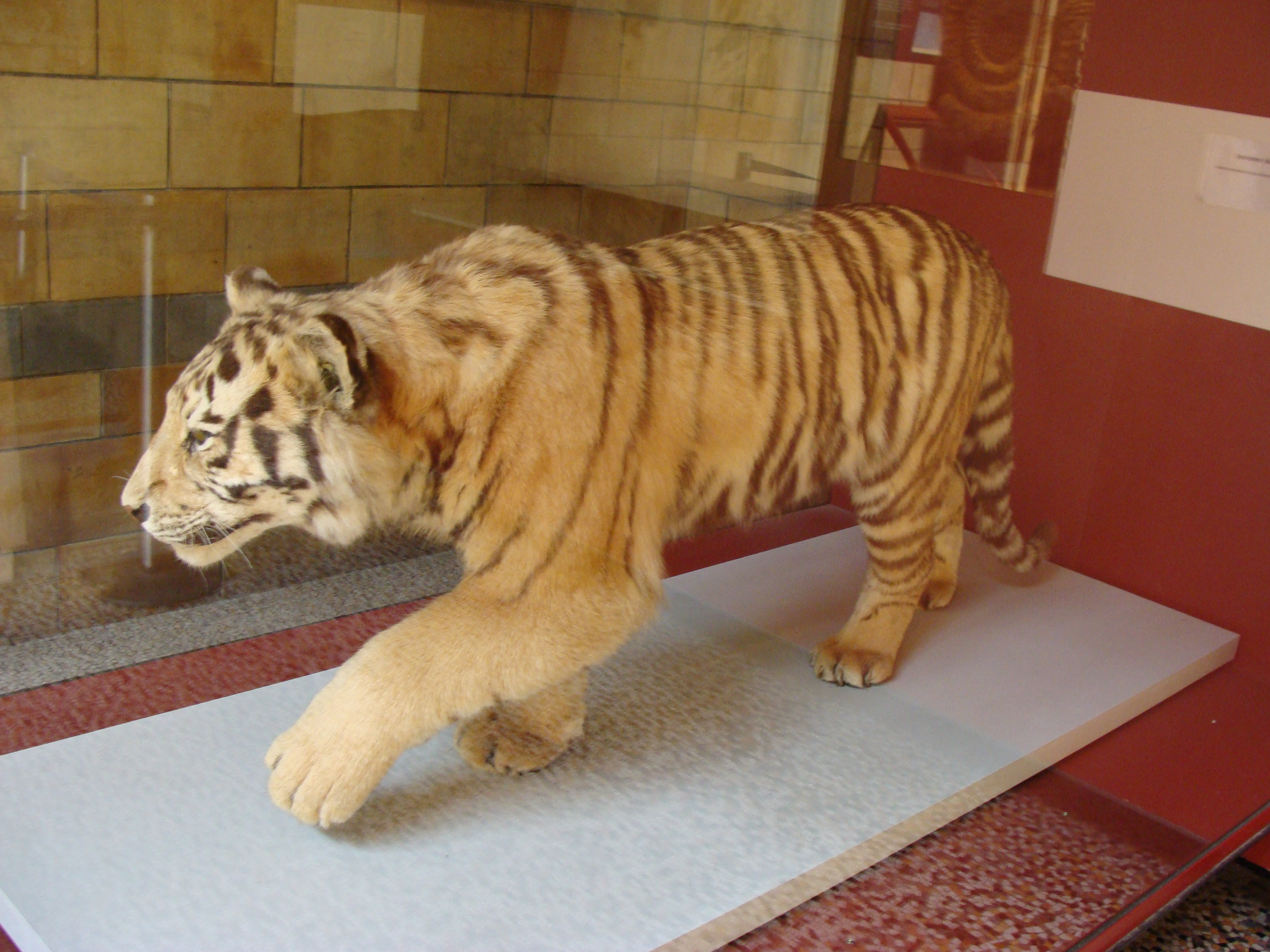 Tiger Hybrid File:Panthera tigris t...
