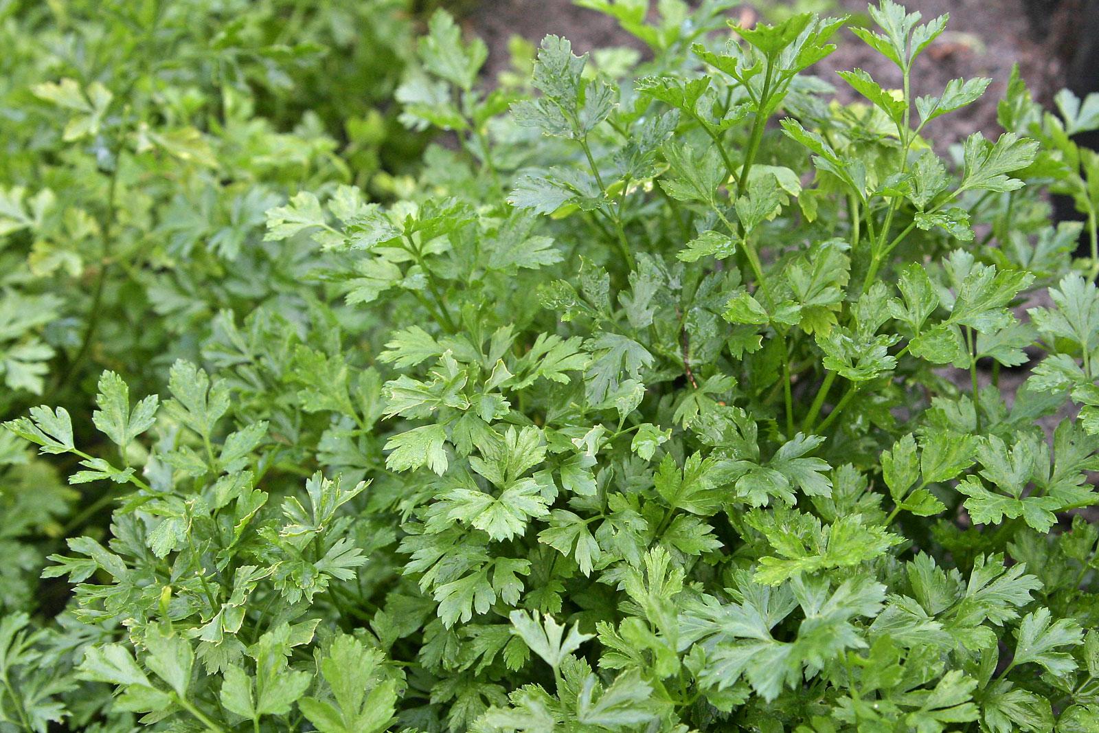 σούπερ λαχανικά και όσπρια: μαϊντανός