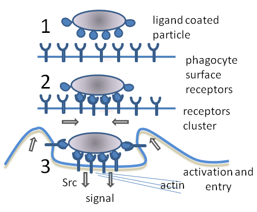 Phagocytosis - Wikipedia