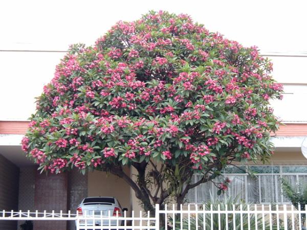 Plumeria – Wikipedia
