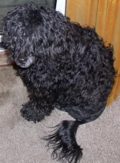 De+Agua+Dog File:Portuguese water dog - Cao de agua Portugues.jpg ...