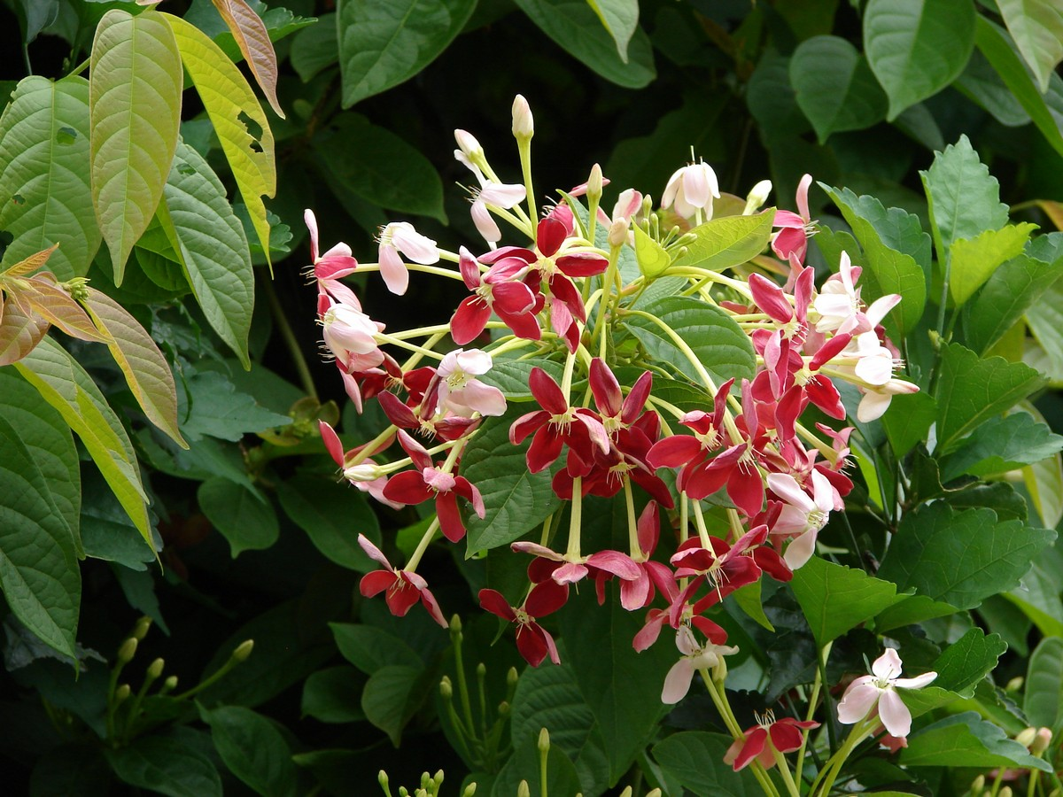 Very Nice Pictures Of Flowers File:Quisqualis indica...