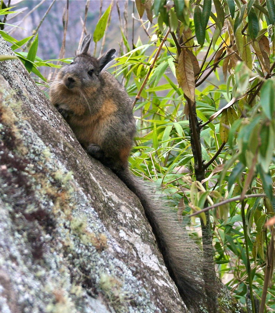file rodent on a rock in south america wikimedia commons. Black Bedroom Furniture Sets. Home Design Ideas