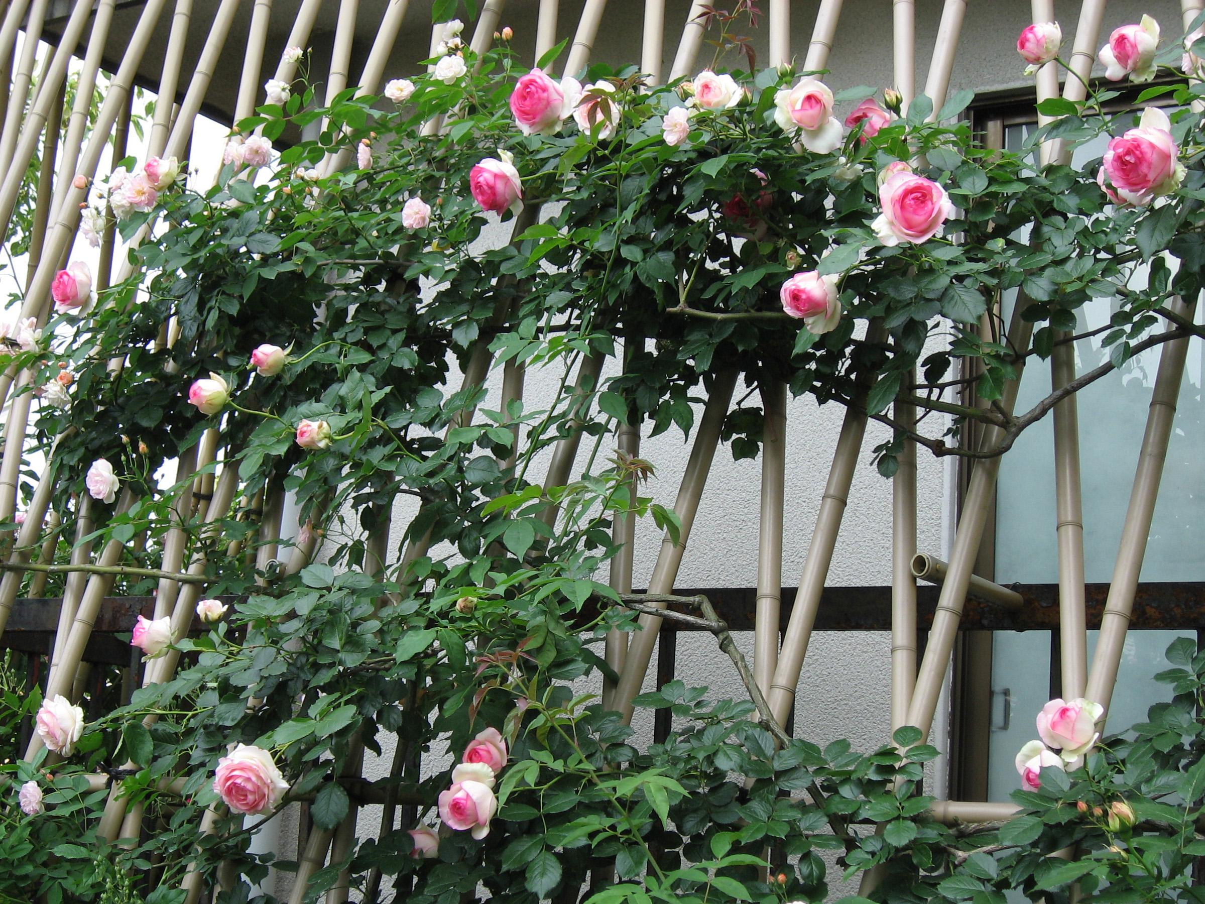 pergola rosier