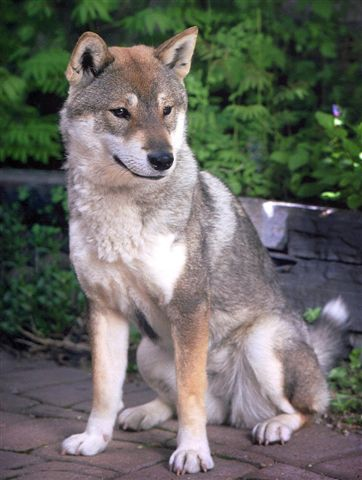 Description shikoku dog