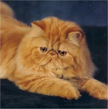 Persiano Gatto Wikipedia
