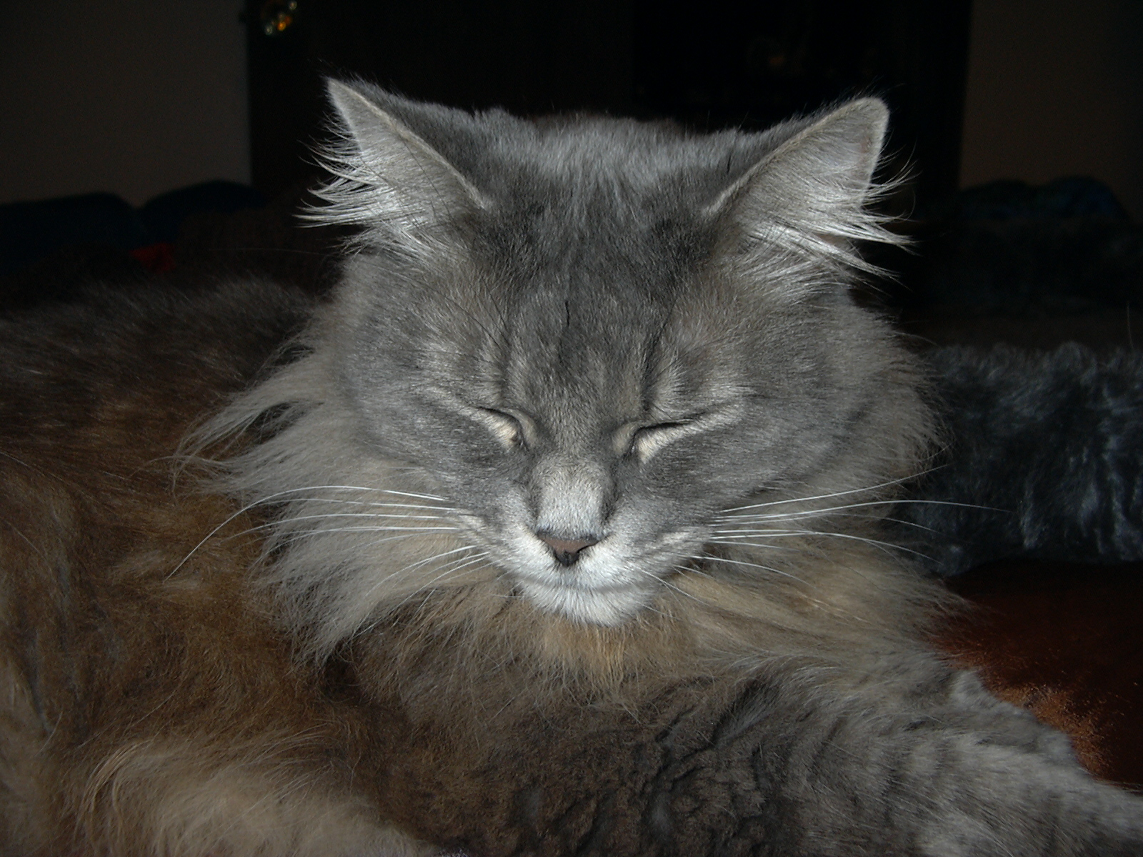 Cat Grey Hair White Chest Patch White Paws