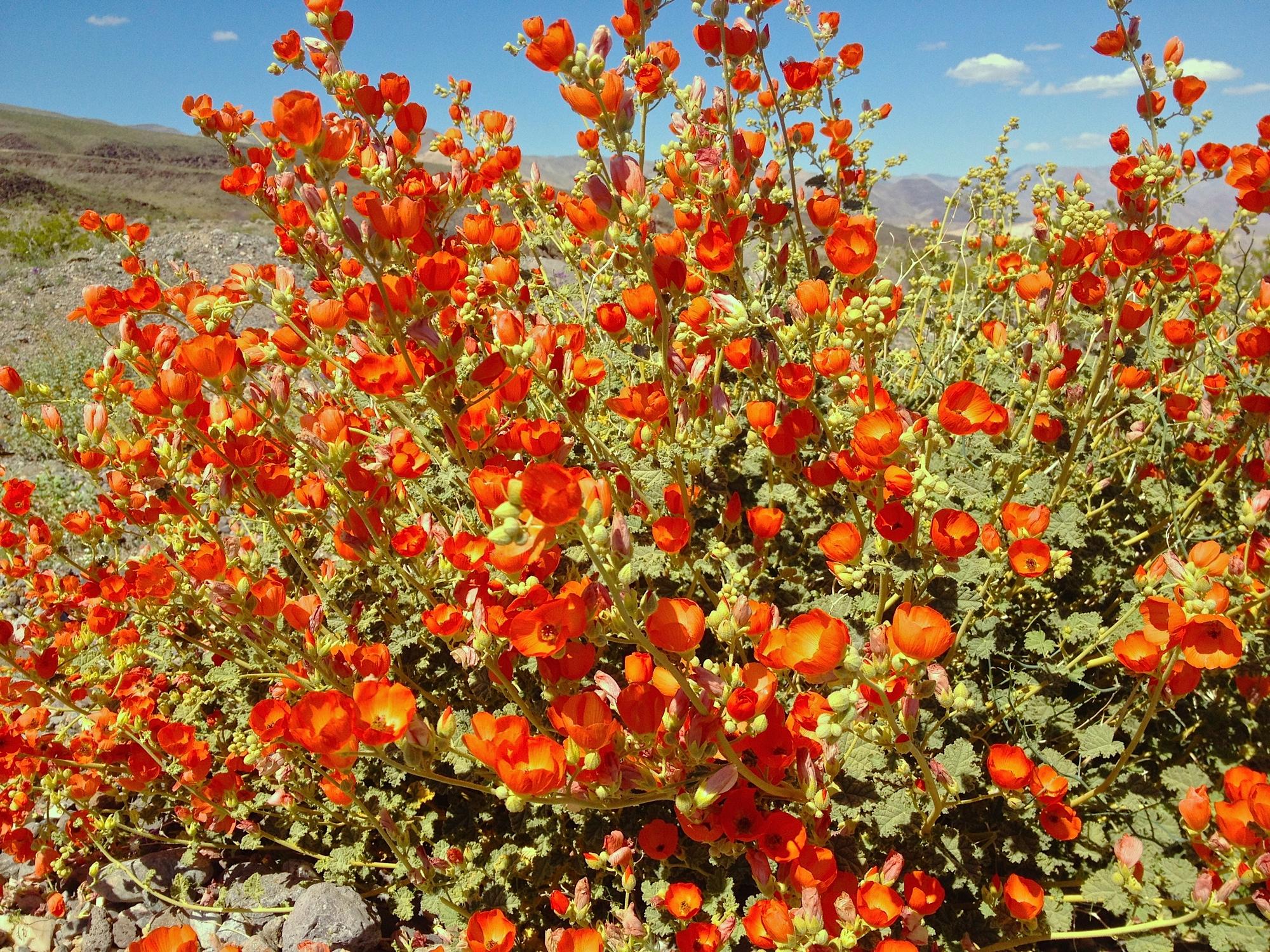 Filespring flowers in death valleyeg wikimedia commons filespring flowers in death valleyeg mightylinksfo