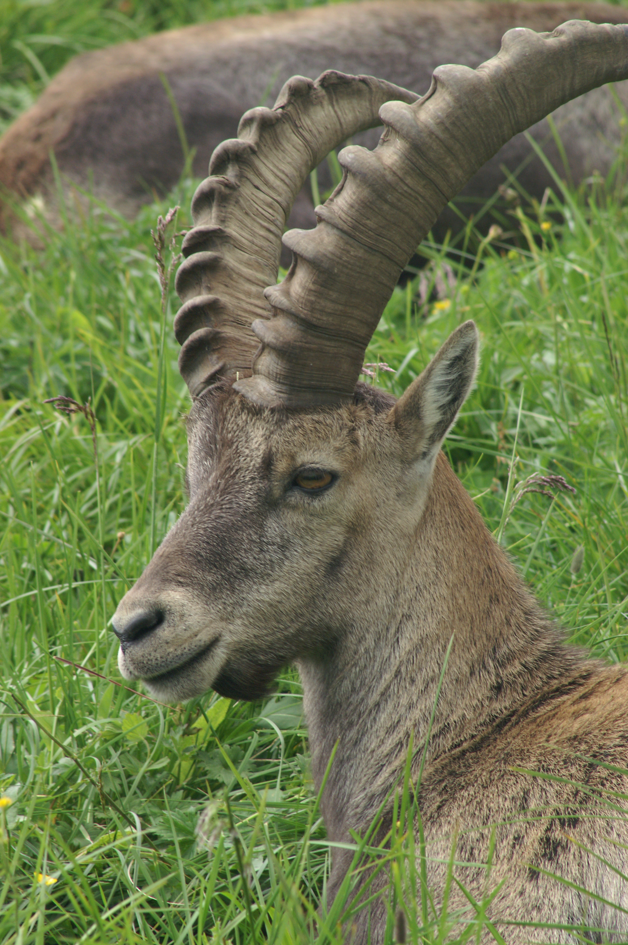 https://upload.wikimedia.org/wikipedia/commons/b/ba/Steinbock_ibex_2.JPG