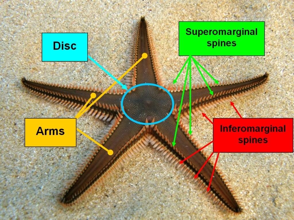 File:The main elements of starfish genus Astropecten.jpg - Wikimedia ...
