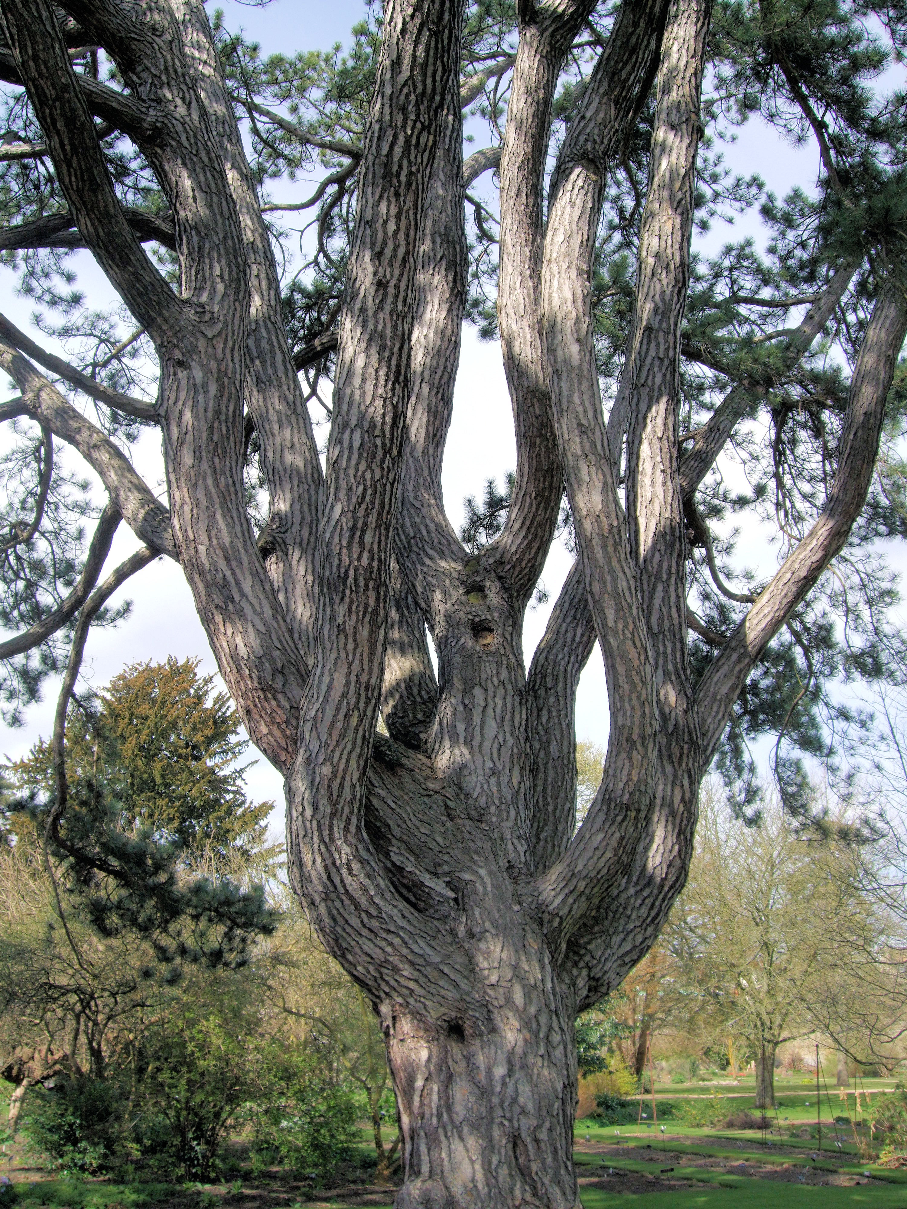 Tolkien's Favorite Tree, Oxford Botanical Garden.jpg
