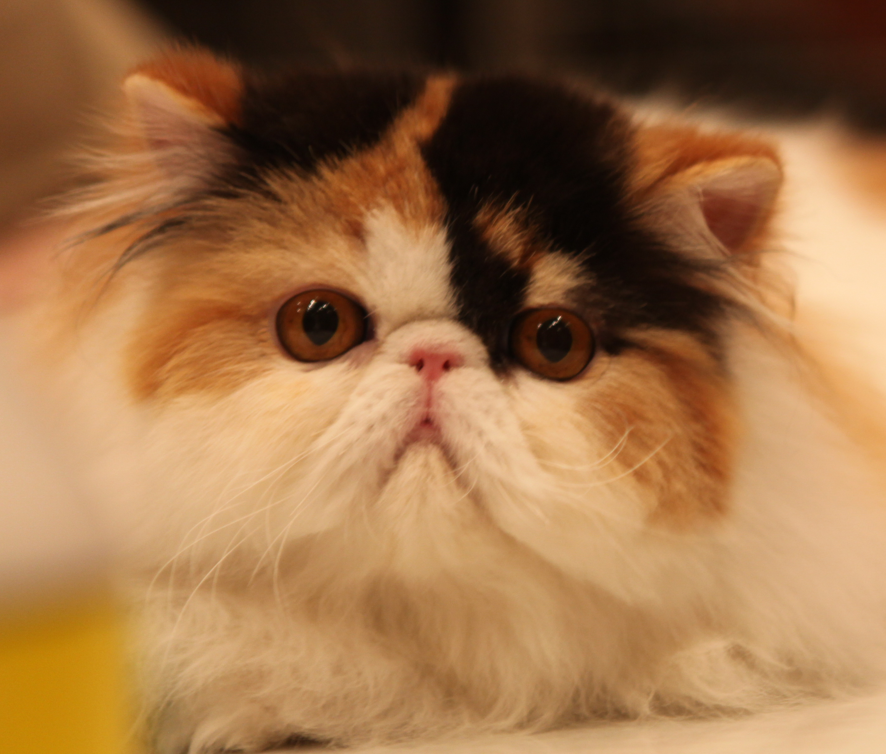 Free Persian Cats For Adoption In Mumbai