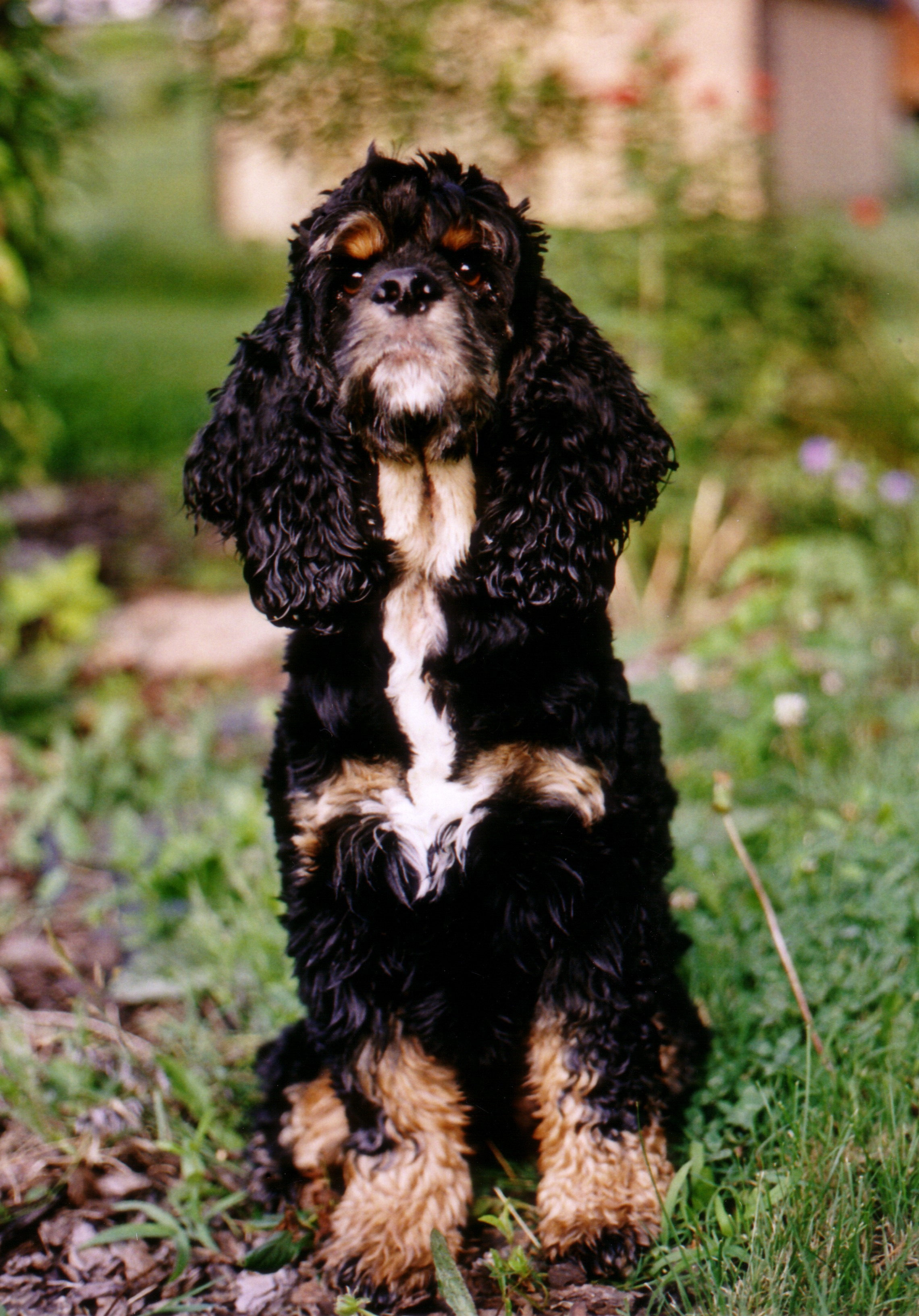 File Tri Colored Cocker Spaniel Pilgrim Jpg Wikimedia