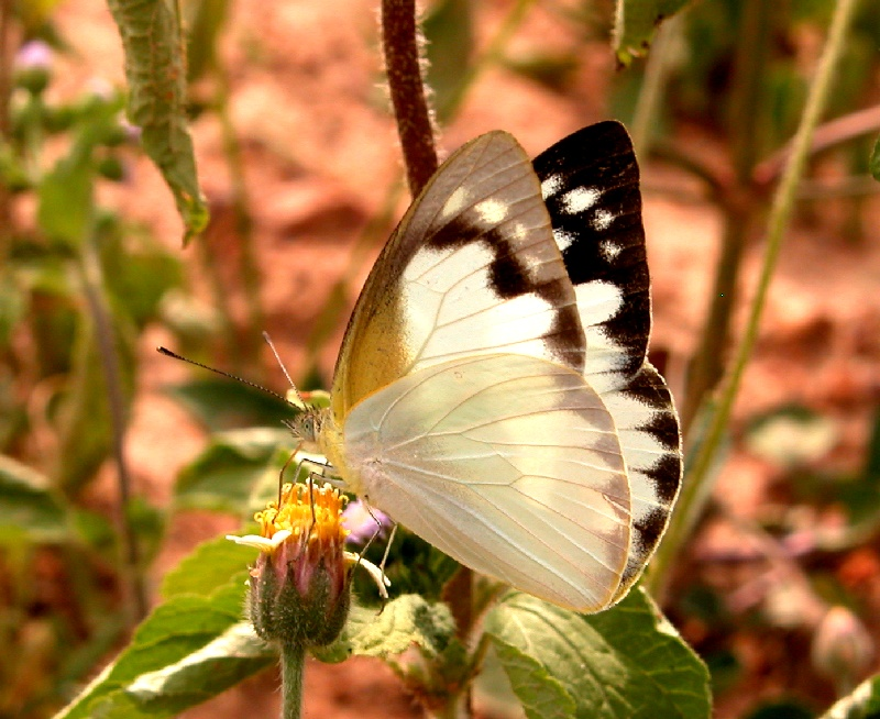 White albatross butterfly