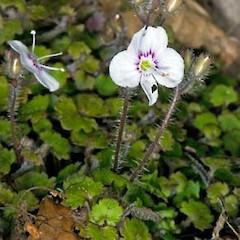 <i>Veronica jovellanoides</i> Species of flowering plant in the family Plantaginaceae
