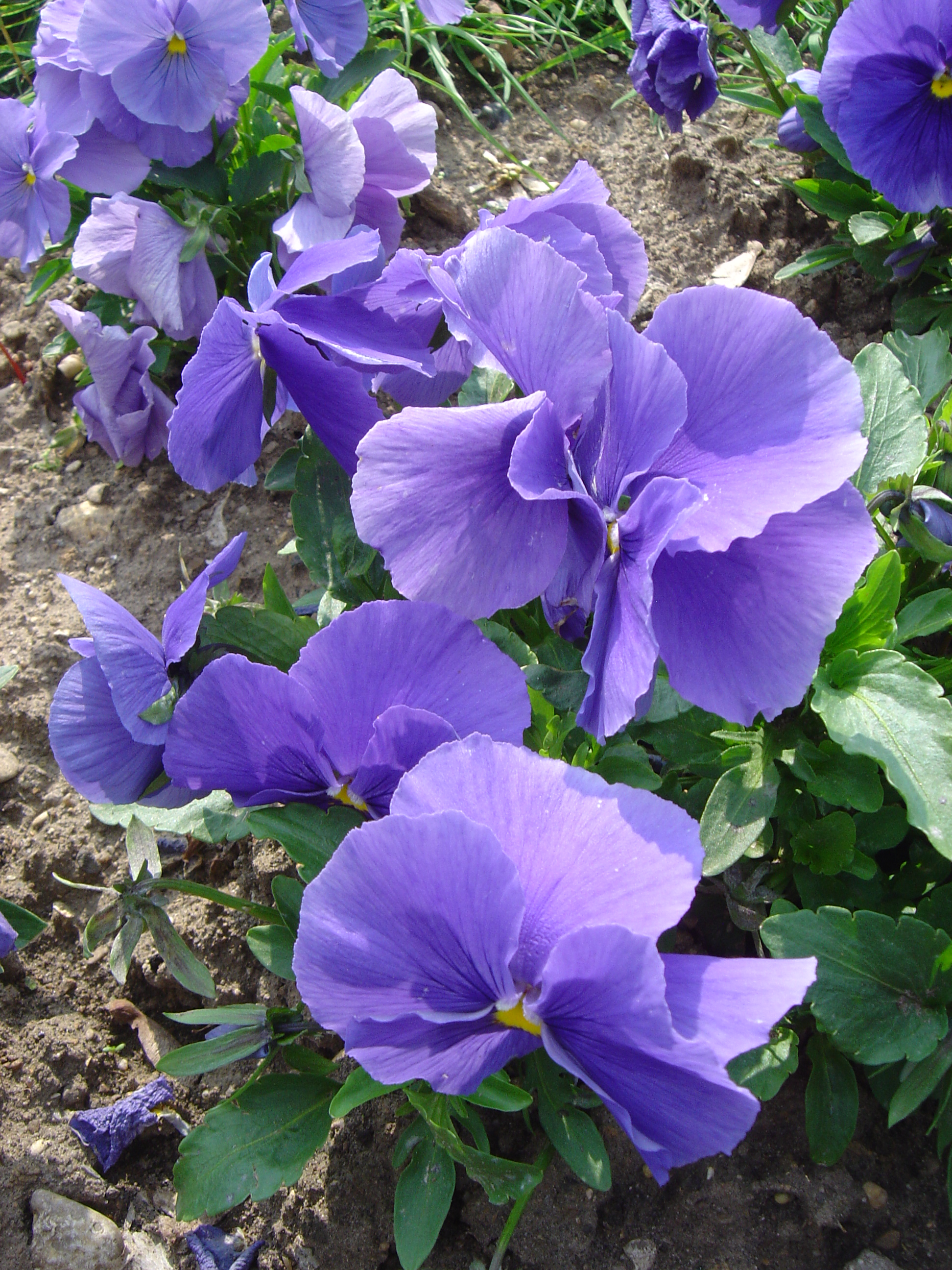 Viola x wittrockiana alpha F1 bleu ciel pur dsc00947.jpg