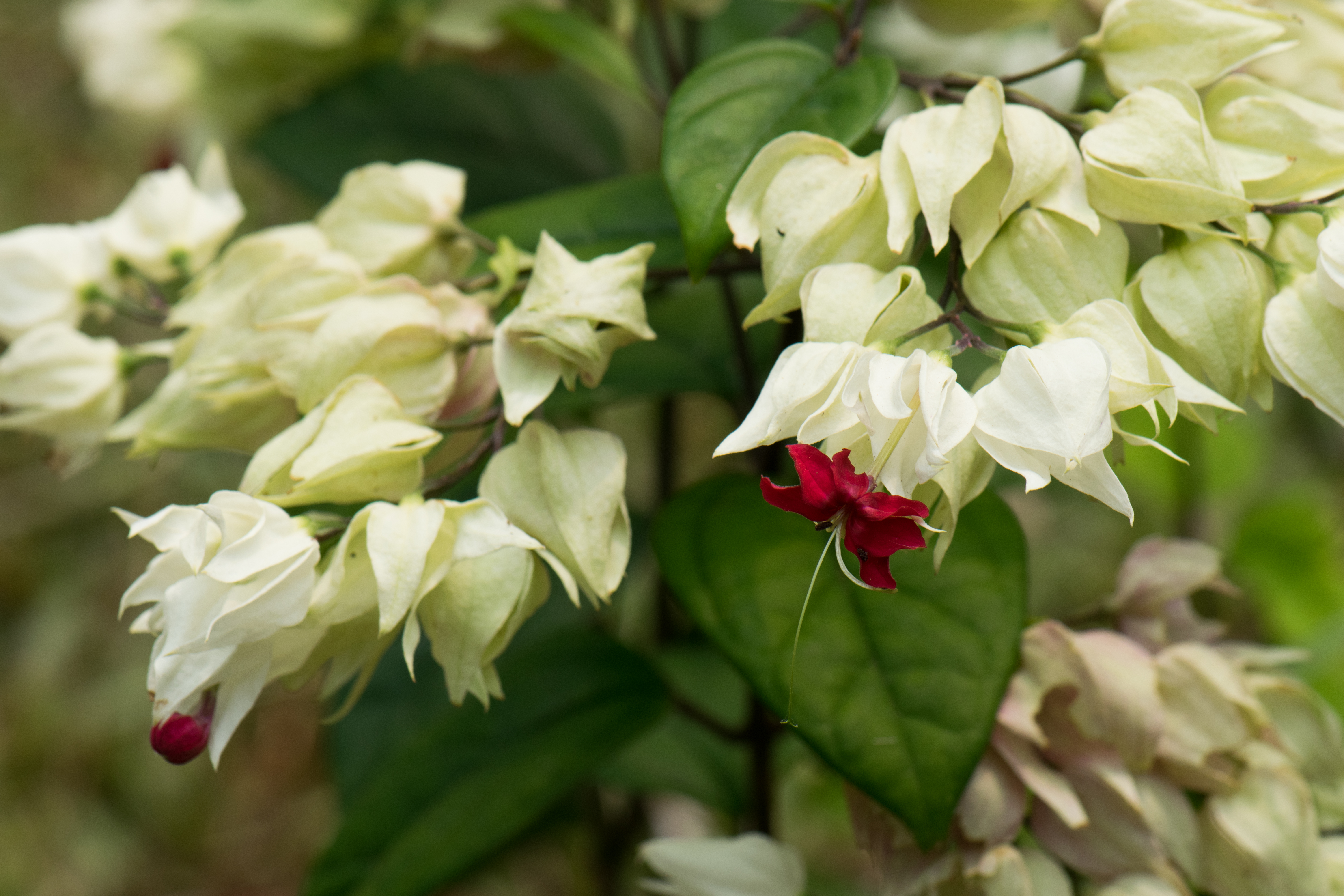 Filewhite Flowers With Red Tips 29298151222g Wikimedia Commons