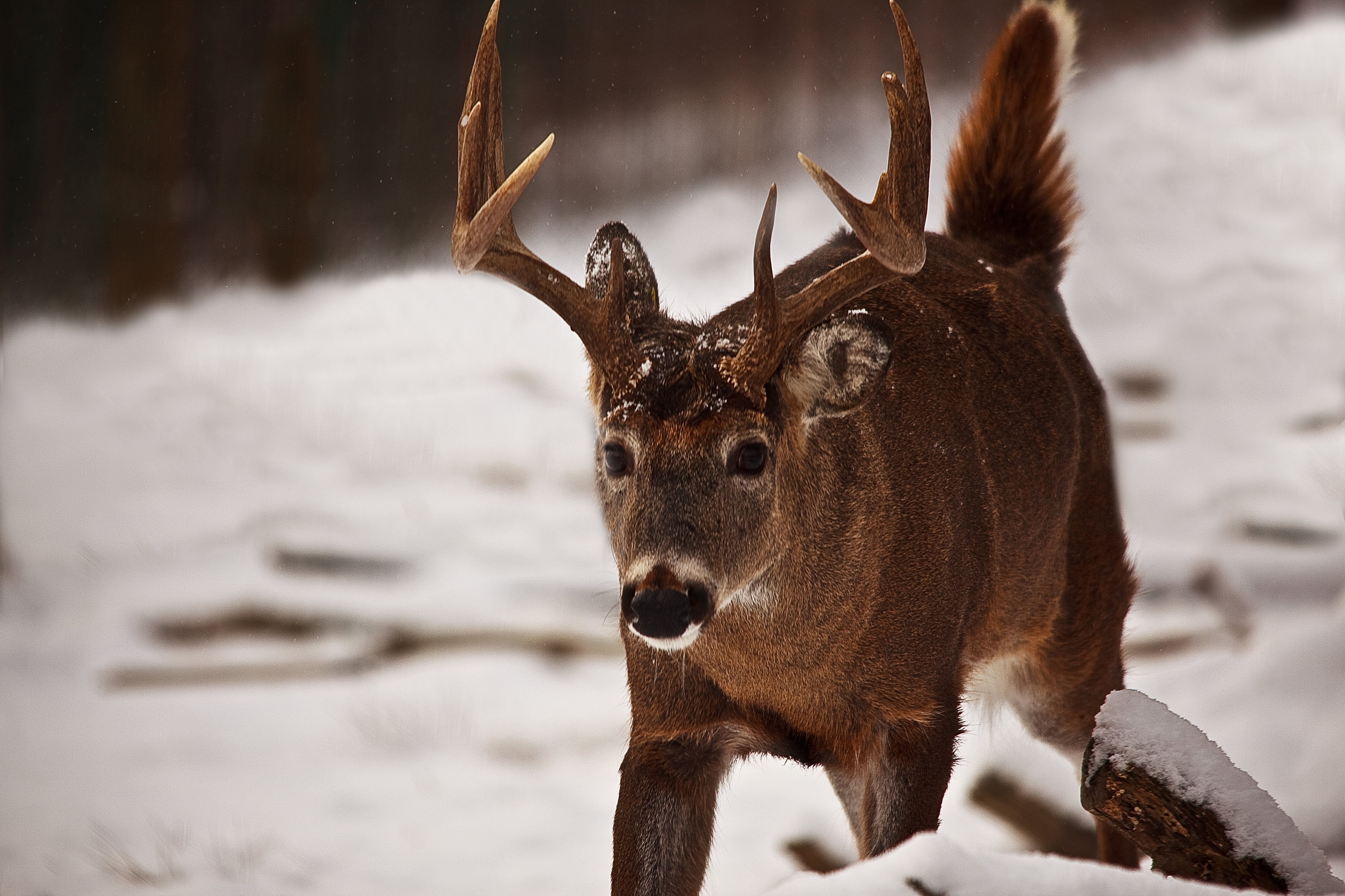 A History of the White-Tailed Deer in the United States