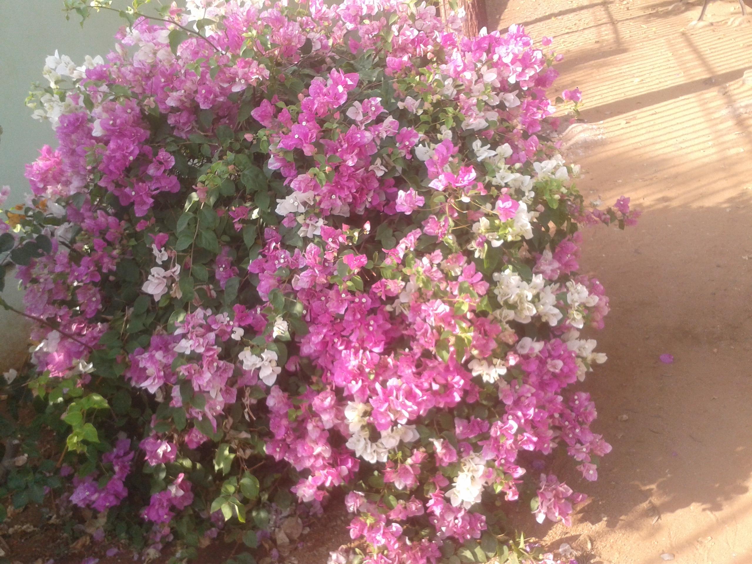 Filewhittish pink paper like flowersg wikimedia commons filewhittish pink paper like flowersg mightylinksfo