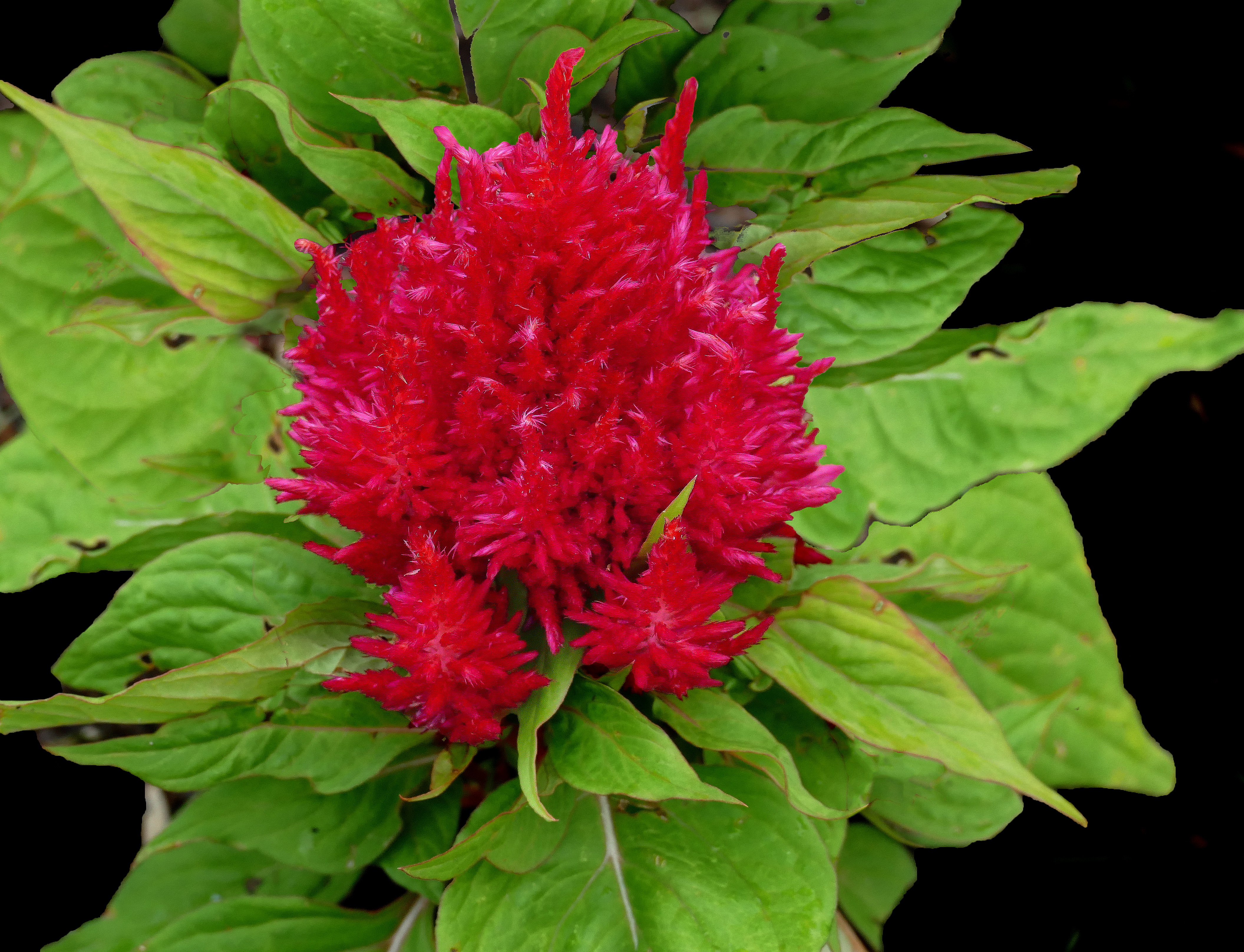 Filewoolflower Or Cockscomb Celosia 2g Wikimedia Commons