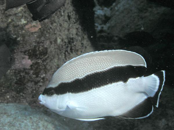 Banded angelfish - Wikipedia
