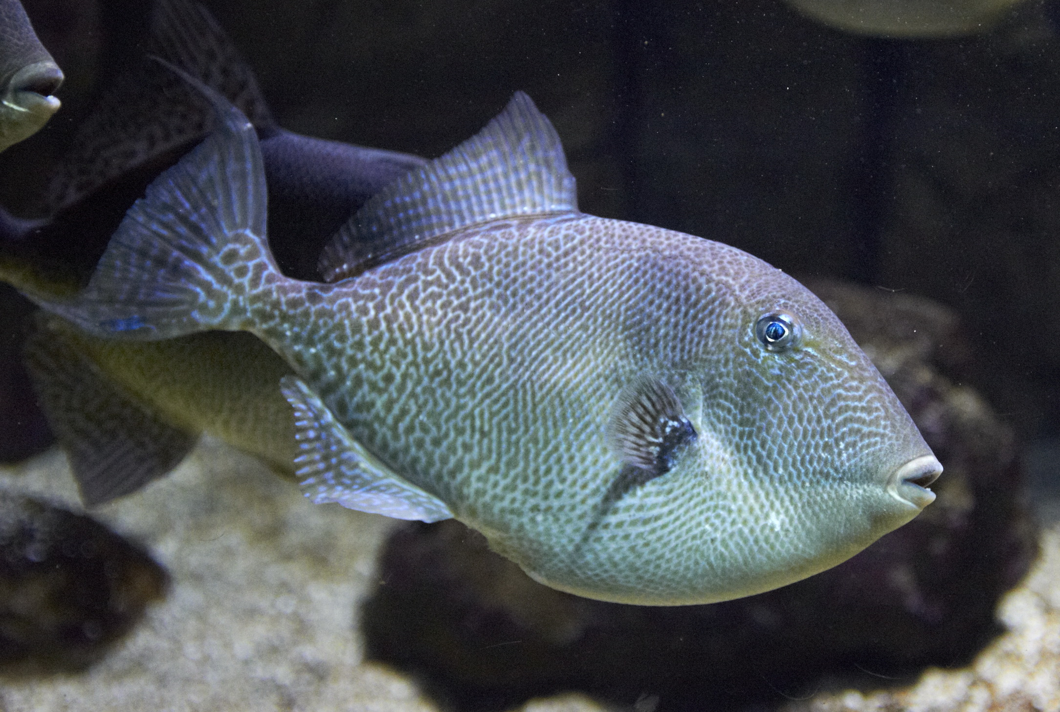 Balistes capriscus gray triggerfish sighted marco for Fish of florida