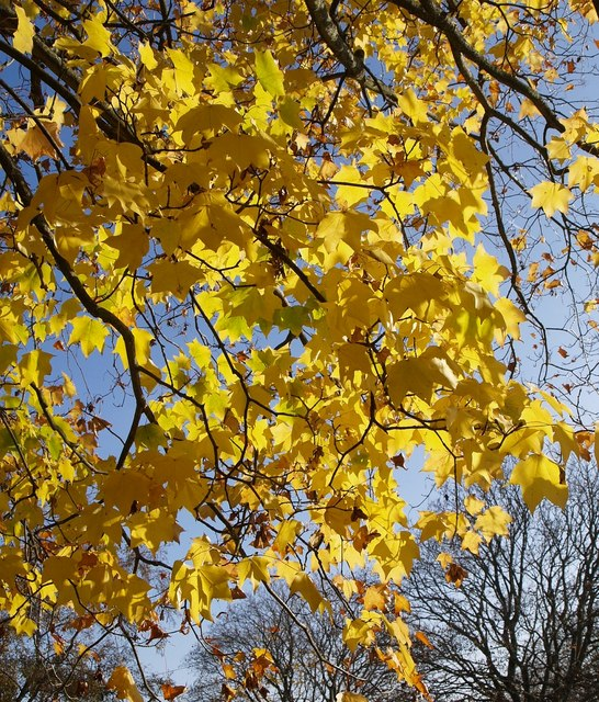 Acer near Birch Walk
